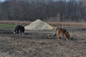 Picture of my dogs eating dirt